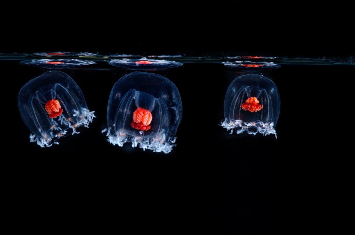 93 - Koellikerina fasciculata