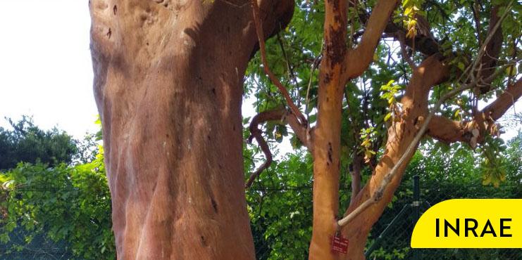 un arbre de la Villa Thuret